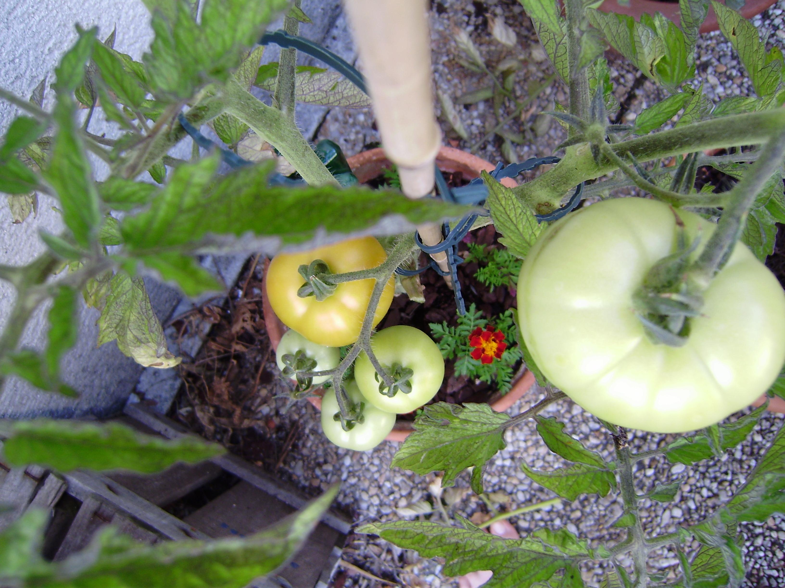 Mon potager en pots l atelier de suzanne - Frequence arrosage tomate ...
